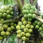 Vào vườn dừa mua thuốc